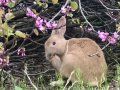Is Palo Alto being overrun by rabbits?