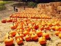 Halloween 2021: 12 Bay Area pumpkin patches